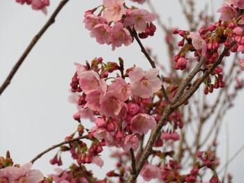 24陽光桜