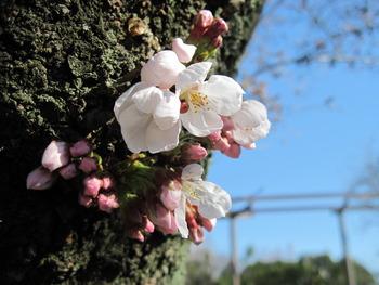 26基準木開花