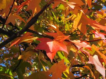 8 モミジバフウの葉