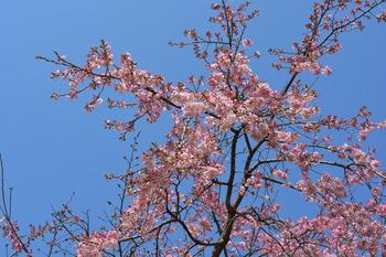 23 枝垂桜1