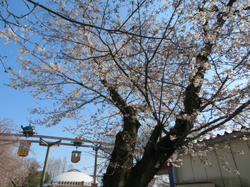 25桜(基準木)
