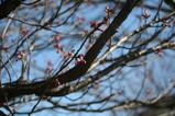 寒緋桜(近景)