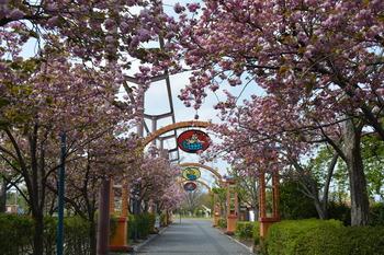 2020.4.16八重桜