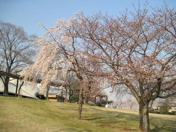 30桜(シダレ