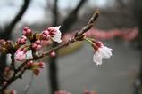 3・25ソメイヨシノ開花