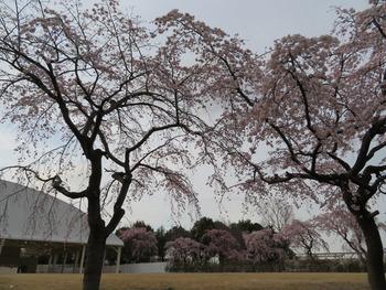 24枝垂桜(ステージ)