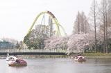 カワセミと桜