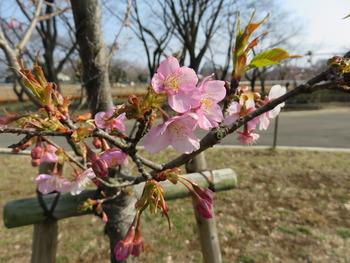 28河津桜