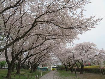 2021.3.30桜(バス停前)