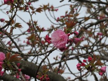2021.3.30八重桜