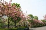 八重桜遠景