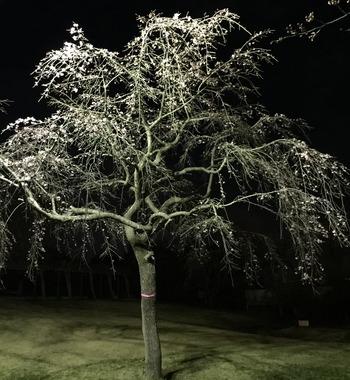 26枝垂桜