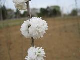 H23.4.15 庭桜2