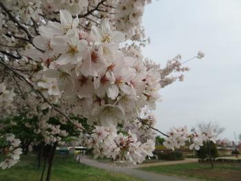 2021.3.30桜(アップ)