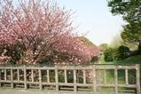 橋からの八重桜