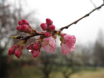 19シダレザクラ(開花)