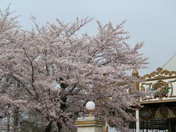 2021.3.30桜(リリー横)