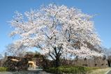 ホワトイタイガー前の桜