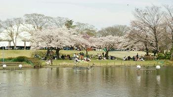 20160409ハッピーオンステージ下の桜
