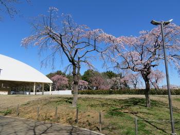 2020.3.20枝垂桜(HOLA!)