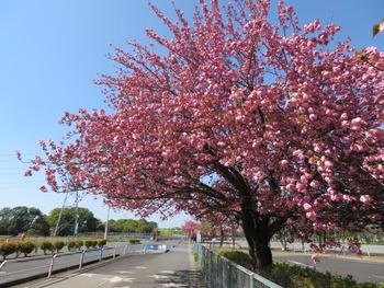 2021.4.11八重桜(駐車場前)