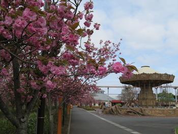 2021.4.6八重桜
