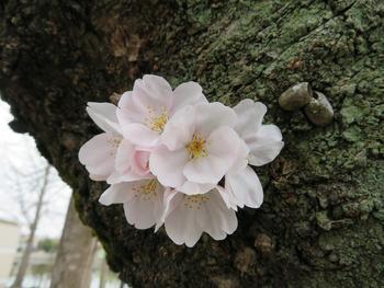 23開花1(基準木)