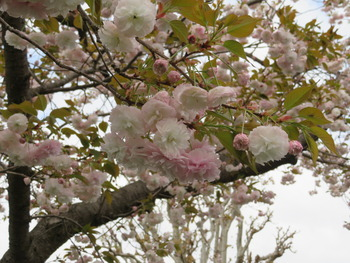 2021.4.6八重桜(アップ