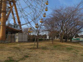 31河津桜(チーズ下)