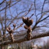 H21.2.15桜蕾