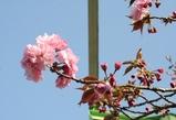 八重桜 単体