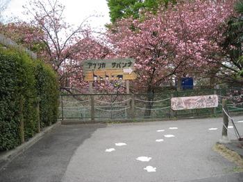 H23.4.18 八重桜(サバンナ入口)