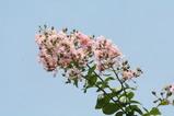 8・9サルスベリ薄ピンク