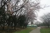 トッピー広場桜(遠景)