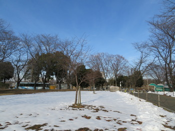 31河津桜(ファーム)