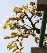 フジの花(白)