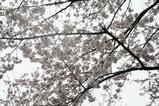 桜3月31日