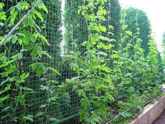 笹目中学校の緑のカーテン