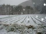 雪の菜の花畑