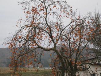 寒空の柿の木