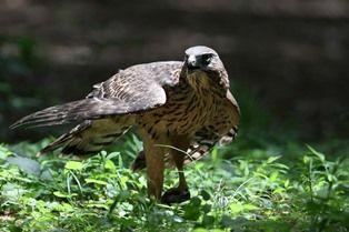 0824-3鷹の食餌1