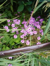 6-16紫陽花3