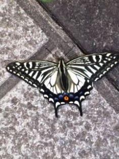 1217-1アゲハ蝶