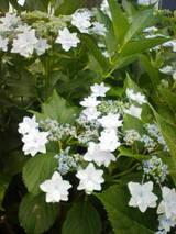 6-16紫陽花6