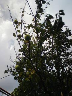 まだ青い柿