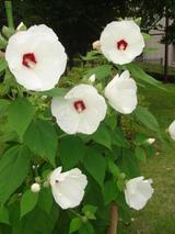 アメリカ芍薬白