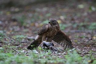 0824-5鷹の食餌3
