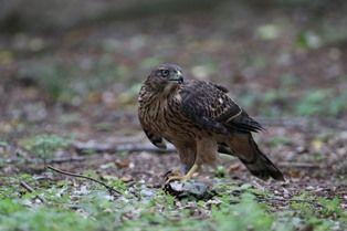 0824-4鷹の食餌2