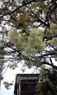 0408-4黄桜