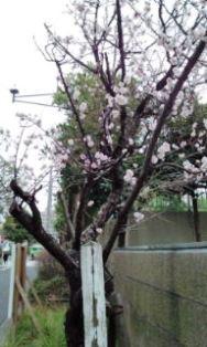 0311-1桜(小学校)